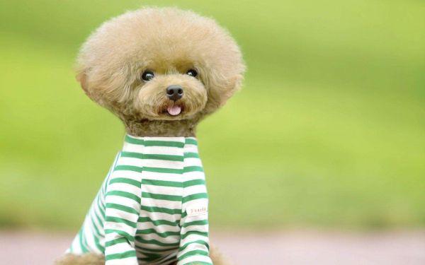 泰迪犬狗粮排行榜